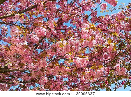 Beautiful Tree In Spring With Pink Flowers