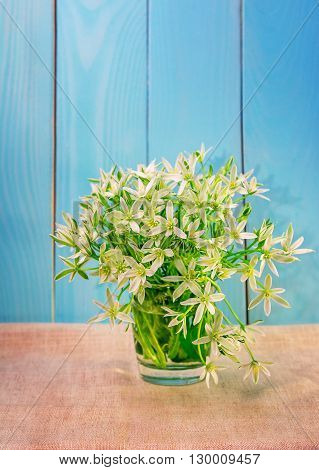 Bouquet of beautiful white flowers (ornithogallum) in a glass on painted in blue wooden background