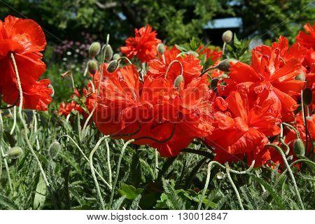 Poppy Flower In The Spring Garden