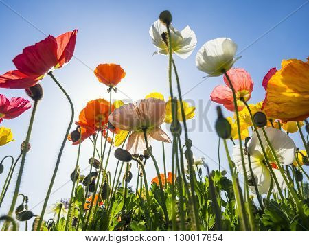 Poppies Field Colourful flowers with blue sky Outdoor Summer Background