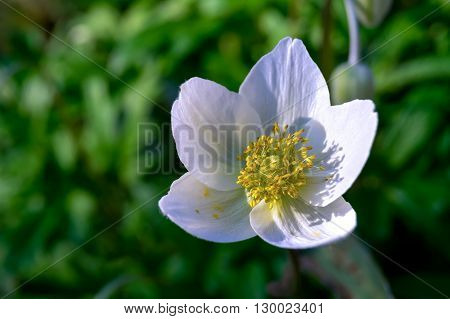 Beautiful white flower on green background. Grass.