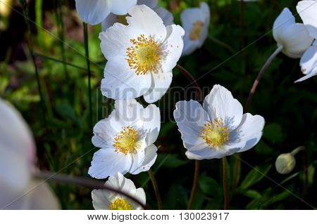 Beautiful white flowers on green background. Grass.