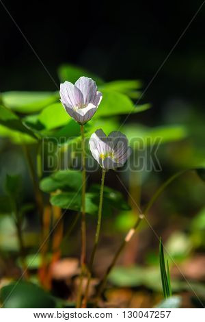 Two oxalis flowers during the spring blossom at dawn in forest on a dark background.