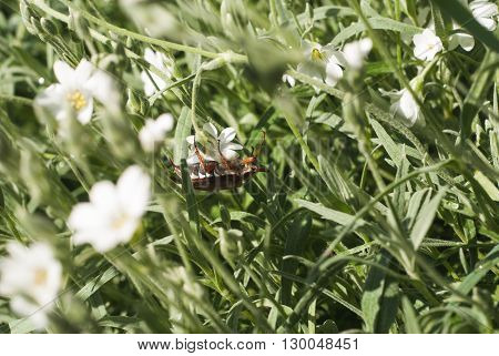 beetle climbing up a blade of grass may beetle climbing a blade of grass may beetle