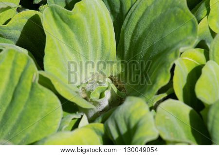 Leaves of water cabbage. Nile cabbage green plant