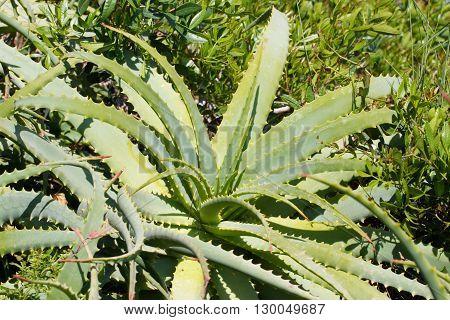Leaves of medicinal green aloe vera plant