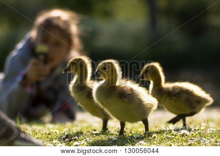 Canada goose (Branta canadensis) goslings being photographed. Three young chicks in foreground with child using phone to take photo highlighted by evening sun