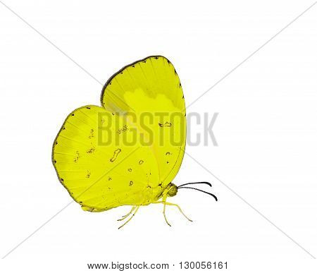 Isolated common Grass Yellow butterfly on white with clipping path