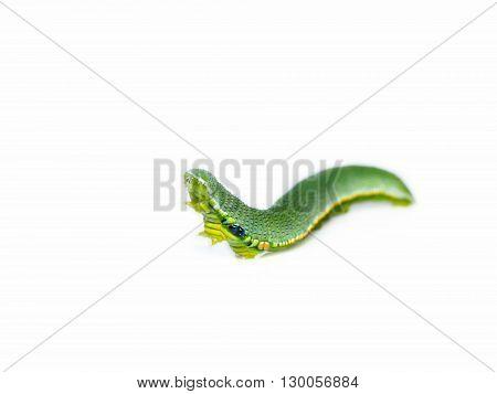 Caterpillar Of Great Orange Tip Butterfly