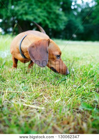 Red Smooth-haired Dachshund Sniffing Green Grass