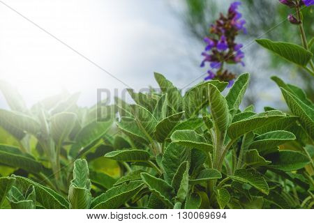 Background of beautiful leaves of sage, with light fom left