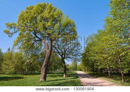 Two oak trees in Yauza floodplain park in Moscow in May