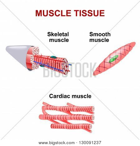 Types of muscle tissue. Skeletal muscle smooth muscle cardiac muscle.