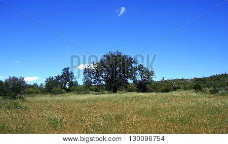 Tall oak in a field, San Diego County, CA