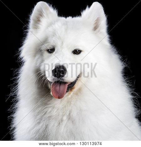 Beautiful samoyed dog isolated on black background