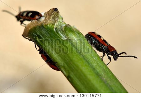 Asparagus beetles (Crioceris asparagi) on damaged stem of vegetable. Familiar garden pest of crops feeding on plants in an English vegetable patch, in the family Chrysomelidae