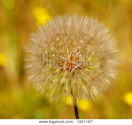 Dandelion Poof