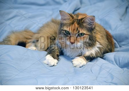 Kitten like middle aged cat reclining on a light blue comforter.