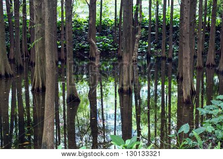 Beautiful tree trunks in the river. Trees reflected in the water.