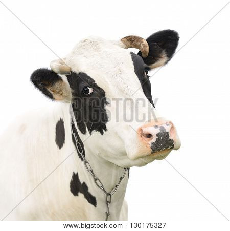 Funny cute talking cow isolated on white