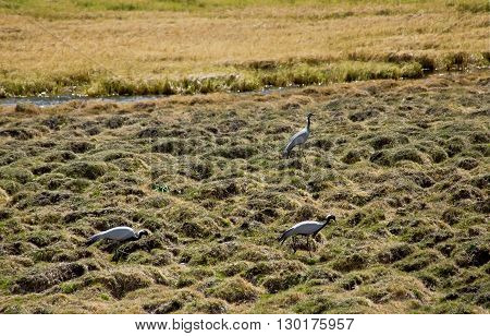 Demoiselle Cranes - Anthropoides virgo in the field. Altay mountains Siberia Russia.