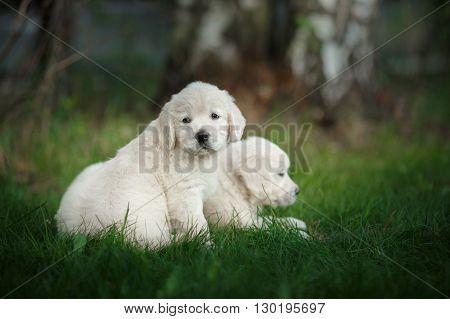 Little Puppys Golden Retriever