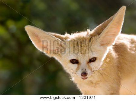 close up of a fennec fox (also called desert fox) poster