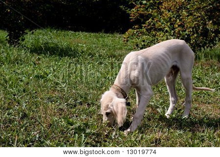A standing saluki pup on a grass poster