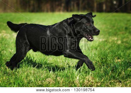 fun black Labrador dog running fast on green grass in summer in Sunny weather