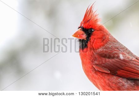 A Northern Cardinal. Taken during the winter in Kentucky.