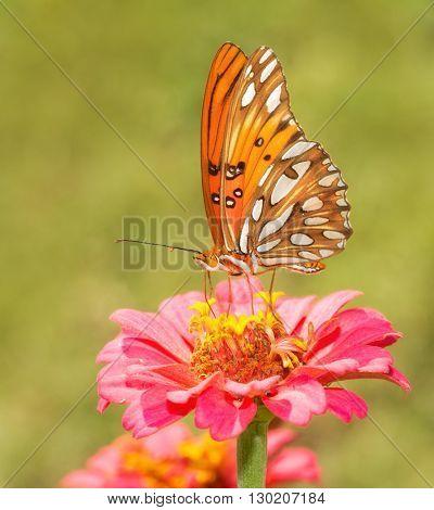 Beautiful, orange, black and silver Gulf Fritillary butterfly feeding on a flower in summer garden