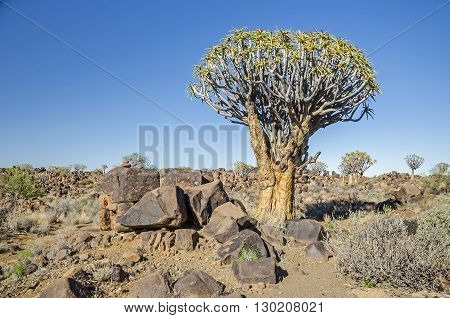 Quiver tree ( Aloe dichotoma) in the Quiver Tree Forest north of Keetmanshoop in Namibia.