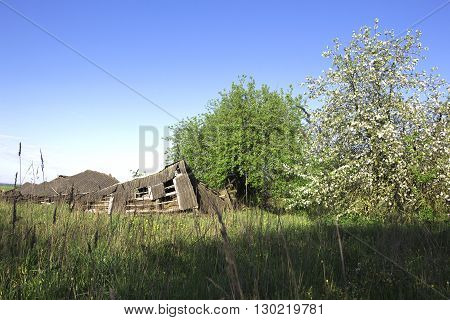 Ruined barn in rural outback near flowering trees on a background of clear sky of spring.  «If time exists in nature, then it is not already open ...». (Konstantin Tsiolkovsky).