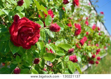 Red Rose Bloom In Garden On Background Of Blue Sky