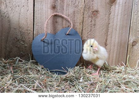 Three day old yellow chick with black slate heart. On straw with wooden background. Room for text on heart shape.