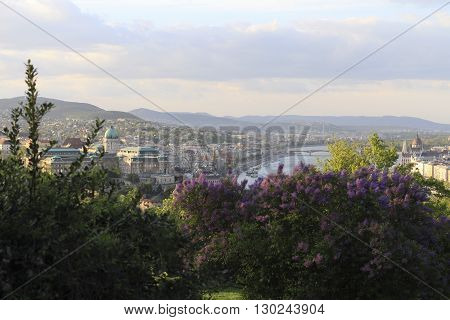 Blooming lilac bushes and view from Gellert hill on the Budapest city in spring