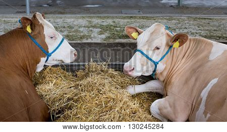 Simmental Cattle In Stable