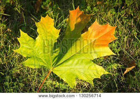 Colorful Autumn Maple Leaf On Grass