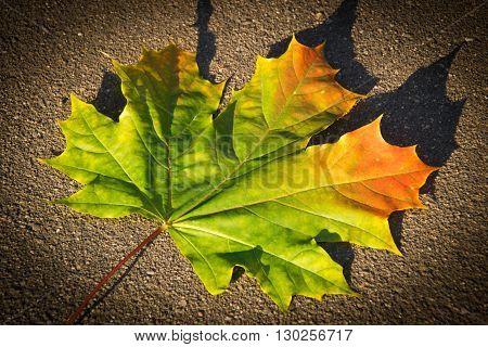Colorful Autumn Maple Leaf On Asphalt