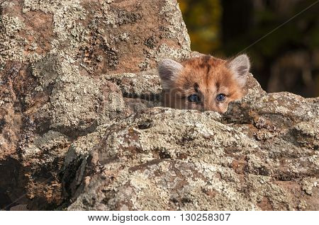 Female Cougar Kitten (Puma concolor) Peeks Out from Rocks - captive animal