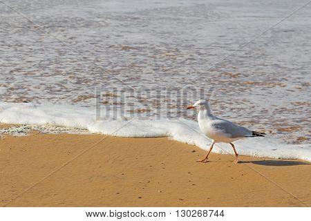 Silver Gull seabird walking along the beach in the afternoon with blurred wave and sea background