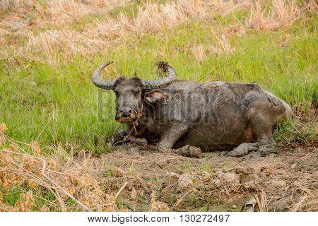 buffalo , Buffalo in the field ,Buffalo Thailand ,Buffalo muddy ,Buffalo area ,