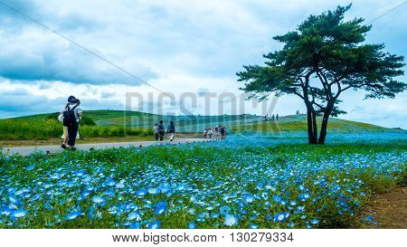 Ibaraki Japan - May 11 2016 : The Tree and Nemophila at Hitachi Seaside Park in spring with blue sky at Ibaraki Japan poster