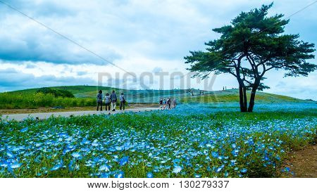 The Tree and Nemophila at Hitachi Seaside Park in spring with blue sky at Ibaraki Japan poster