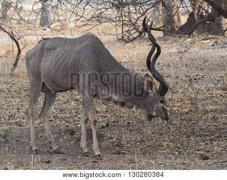 male antelope in the african savannah Malawi