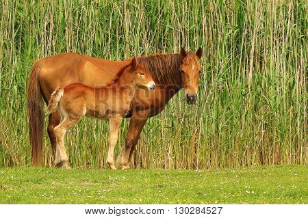 Two sorrel horses foal and mother on the meadow