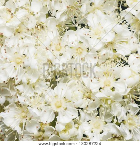 White flowers of blossoming rowan tree sorbus aucuparia close-up background selective focus shallow DOF