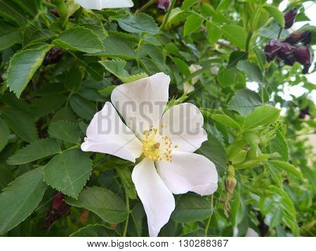 White Blossoming Rose Hip With Green Leaves