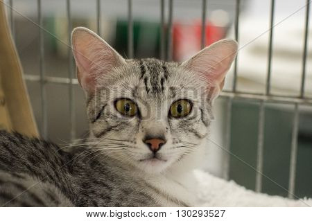 Egyptian Mau Cat Close Up Portrait