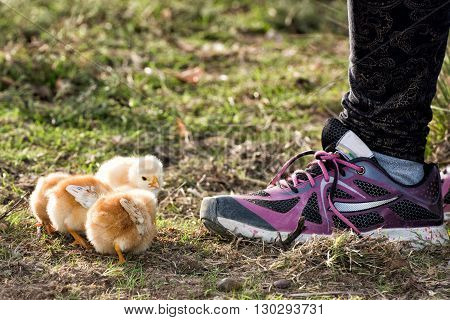 Chicks In A Farm With Girl Shoe